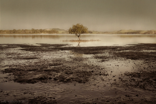 cally-whitham-mangrove2